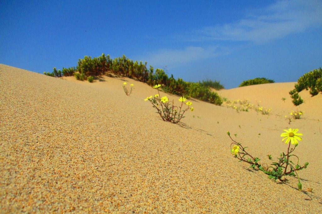fiori gialli su una duna della costa verde in sardegna
